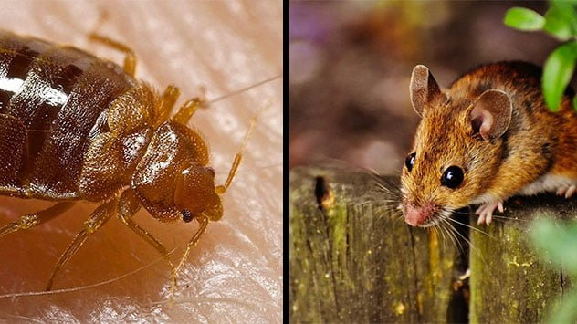 Having A Mouse And Bed Bug Infestation Can Hurt Your Love Life